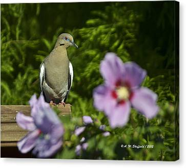 Dove And Althea Blossoms Canvas Print by Allen Sheffield