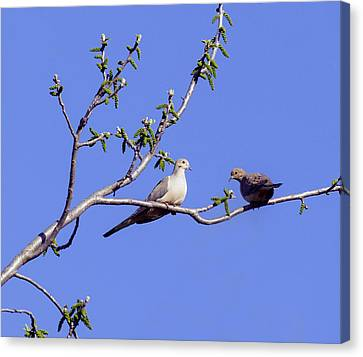 Canvas Print featuring the photograph Doves by David Lester
