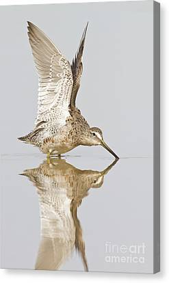 Dowitcher Wing Stretch Canvas Print by Bryan Keil