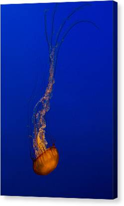 Monteray Bay Canvas Print - Downward Facing Pacific Sea Nettle 3 by Scott Campbell