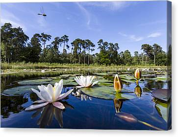 Downy Emerald Dragonfly Flying Over Lake Canvas Print by Alex Huizinga
