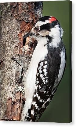 Downy Woodpecker Canvas Print by Bill Wakeley
