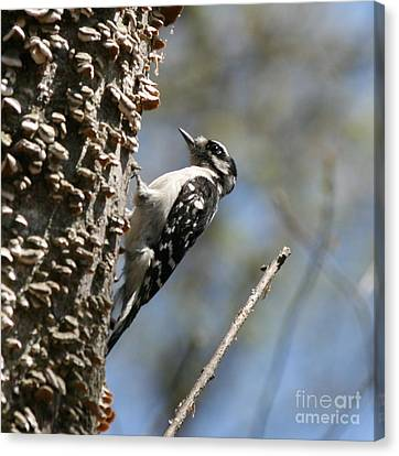 Downy Woodpecker In Square  Canvas Print