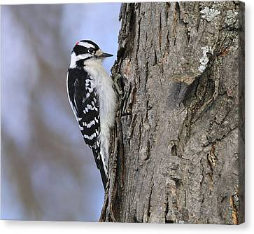 Downy Woodpecker Canvas Print by Tony Beck