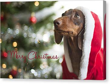 Doxie Clause Canvas Print