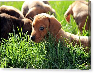 Doxies Canvas Print by Velvetdawn Custer