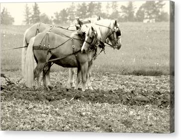 Draft Horse Team Plowing The Field Canvas Print by Michael Allen