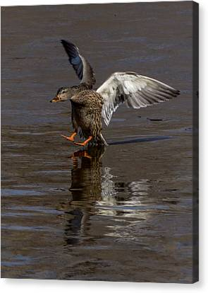 Dragging Tail Canvas Print by Ernie Echols