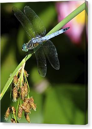 Dragon Fly Canvas Print by Frozen in Time Fine Art Photography