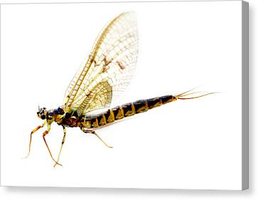 Dragonfly Eyes Canvas Print - Dragon Fly by Tommytechno Sweden
