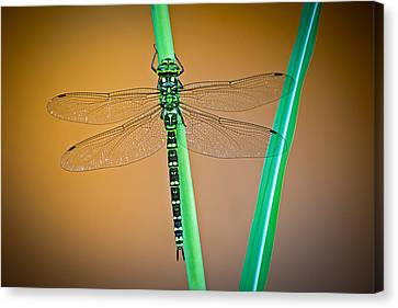 dragonfly Aeshna cyanea Canvas Print by Dirk Ercken