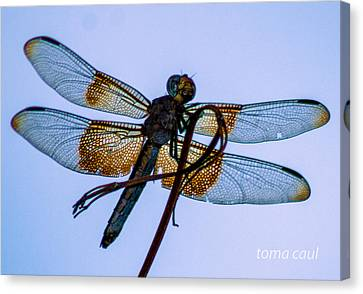 Dragonfly-blue Study Canvas Print by Toma Caul
