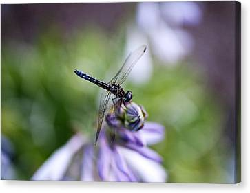 Dragonfly Canvas Print by Christopher McPhail