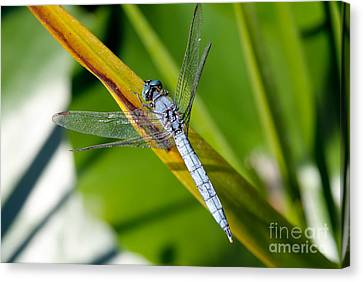 Dragonfly Canvas Print by George Atsametakis