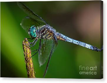 Dragonfly Having Summer Fun Canvas Print by Deborah Scannell