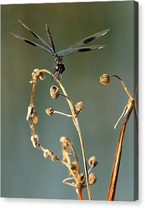 Canvas Print featuring the photograph Dragonfly I by Dawn Currie