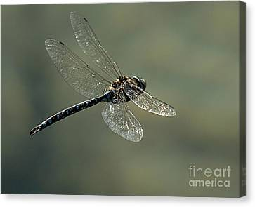 Dragonfly In Flight Canvas Print by Bob Christopher