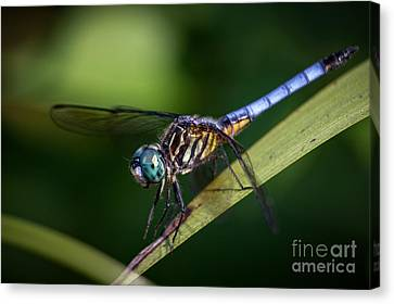Dragonfly In The Wind Canvas Print by Deborah Scannell