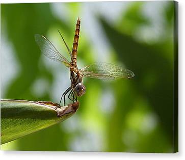 Dragonfly Canvas Print by Janina  Suuronen