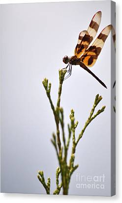 Dragonfly Lands Canvas Print by Affini Woodley