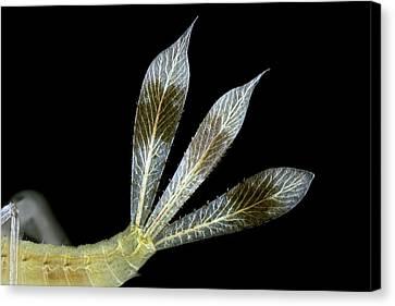 Dragonfly Larva Gills Canvas Print