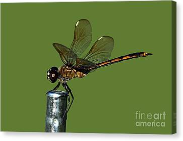 Canvas Print featuring the photograph Dragonfly by Meg Rousher