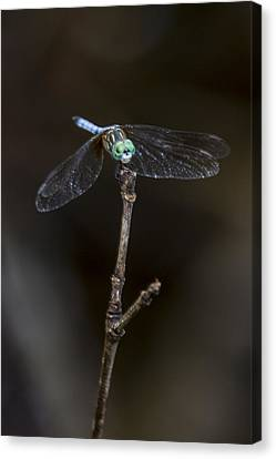 Canvas Print featuring the photograph Dragonfly On Branch by Paula Porterfield-Izzo