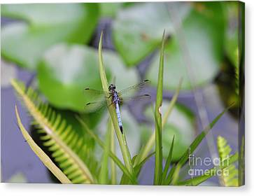 Dragonfly Canvas Print - Dragonfly On Grass Over Pond With Fish by Wayne Nielsen