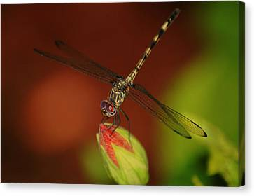 Canvas Print featuring the photograph Dragonfly On Hibiscus by Leticia Latocki