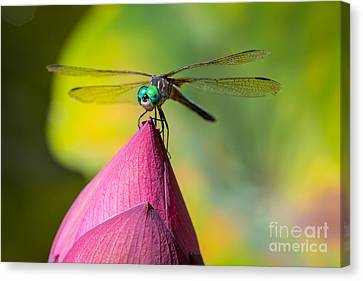 Dragonfly On Waterlily Canvas Print by Inge Johnsson