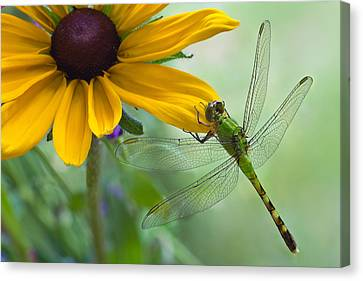 Dragonfly On Yellow Flower Canvas Print