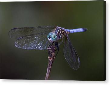 Canvas Print featuring the photograph Dragonfly by Paula Porterfield-Izzo