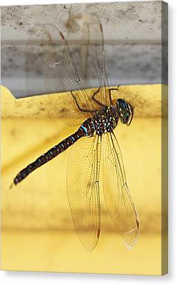 Canvas Print featuring the photograph Dragonfly Web by Melanie Lankford Photography