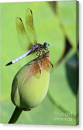 Dramatic Dragonfly Canvas Print