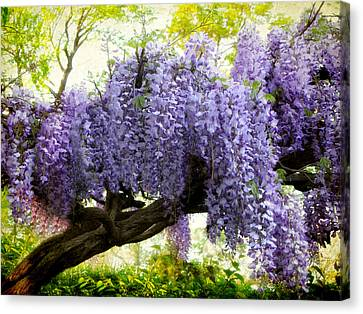 Draping Wisteria Canvas Print by Jessica Jenney