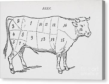 Drawing Of A Bullock Marked To Show Eighteen Different Cuts Of Meat Canvas Print
