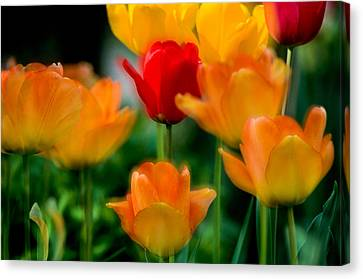 Dream Tulips Canvas Print by Michael Hubley