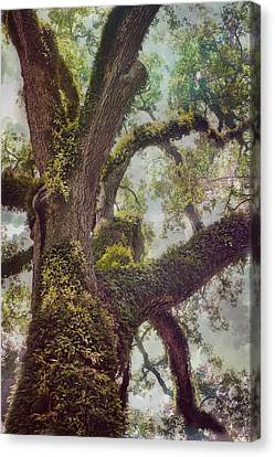 Dreamer's Oak Canvas Print