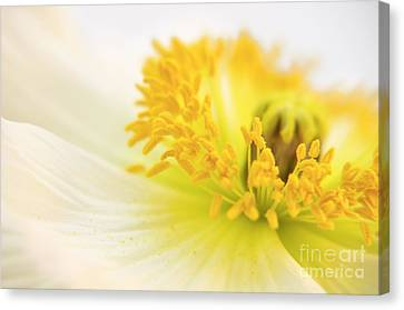 Dreaming Poppy Canvas Print by Angela Doelling AD DESIGN Photo and PhotoArt