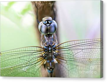Grape Vines Canvas Print - Dreaming With A Dragonfly by Scotts Scapes