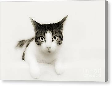 Dreamy Cat Canvas Print by Andee Design