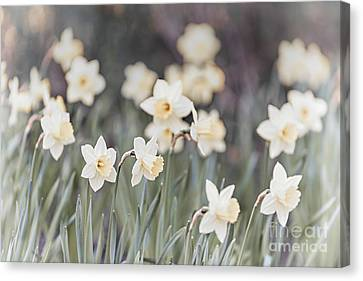 Dreamy Daffodils Canvas Print by Elena Elisseeva