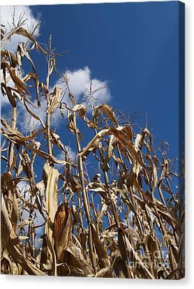 Dried Field Corn In Kutztown Pa Canvas Print