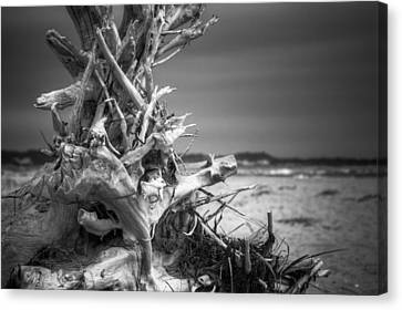 Driftwood At Race Point Canvas Print