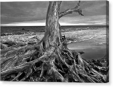 Driftwood On Jekyll Island Black And White Canvas Print by Debra and Dave Vanderlaan