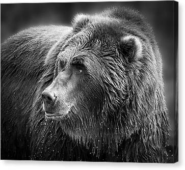 Drinking Grizzly Bear Black And White Canvas Print by Steve McKinzie