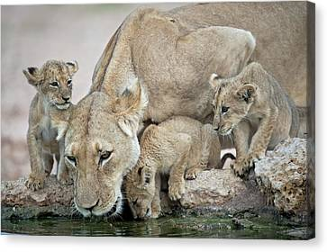 Drinking Lioness With Cubs Canvas Print