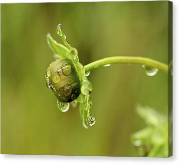 Drip Drip - Raindrops On Coreopsis  Canvas Print