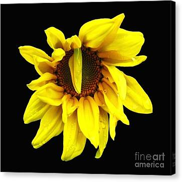 Canvas Print featuring the photograph Droops Sunflower With Oil Painting Effect by Rose Santuci-Sofranko