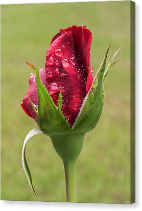 Drops On Rose Bud Canvas Print by Zina Stromberg